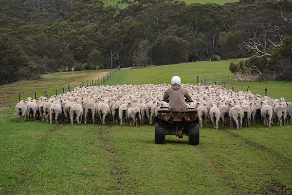 Moving sheep on Kangaroo Island.