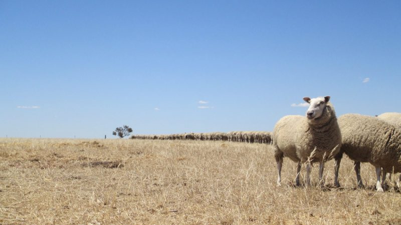 "OPEN WINNER: ""Feeding ewes"" - Ellen Arney, Strathalbyn, SA"