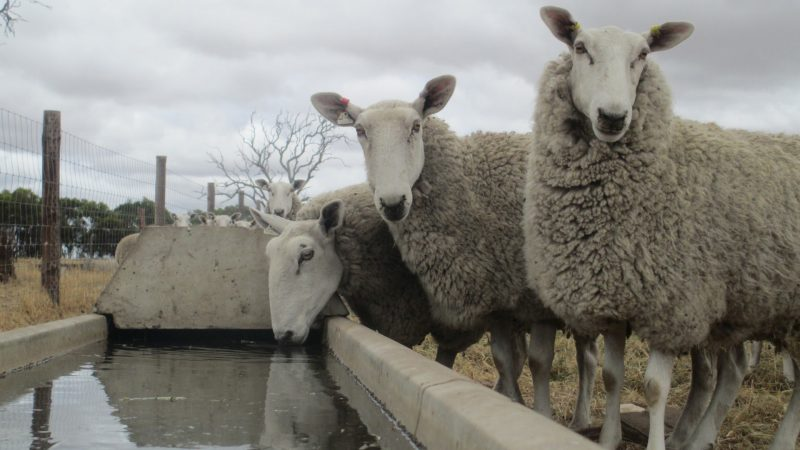 "OPEN FINALIST: ""Ewe wanna drink?"" - Ellen Arney, Strathalbyn, SA"