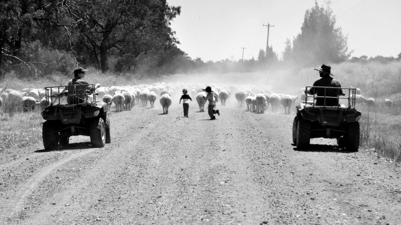 "OPEN FINALIST: ""Everyone helps with mustering sheep"" - Amanda Fisk, Hillston, NSW"